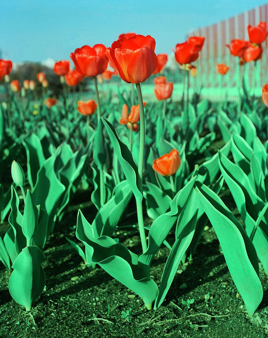085_TULIPS_Andrew_Miksys